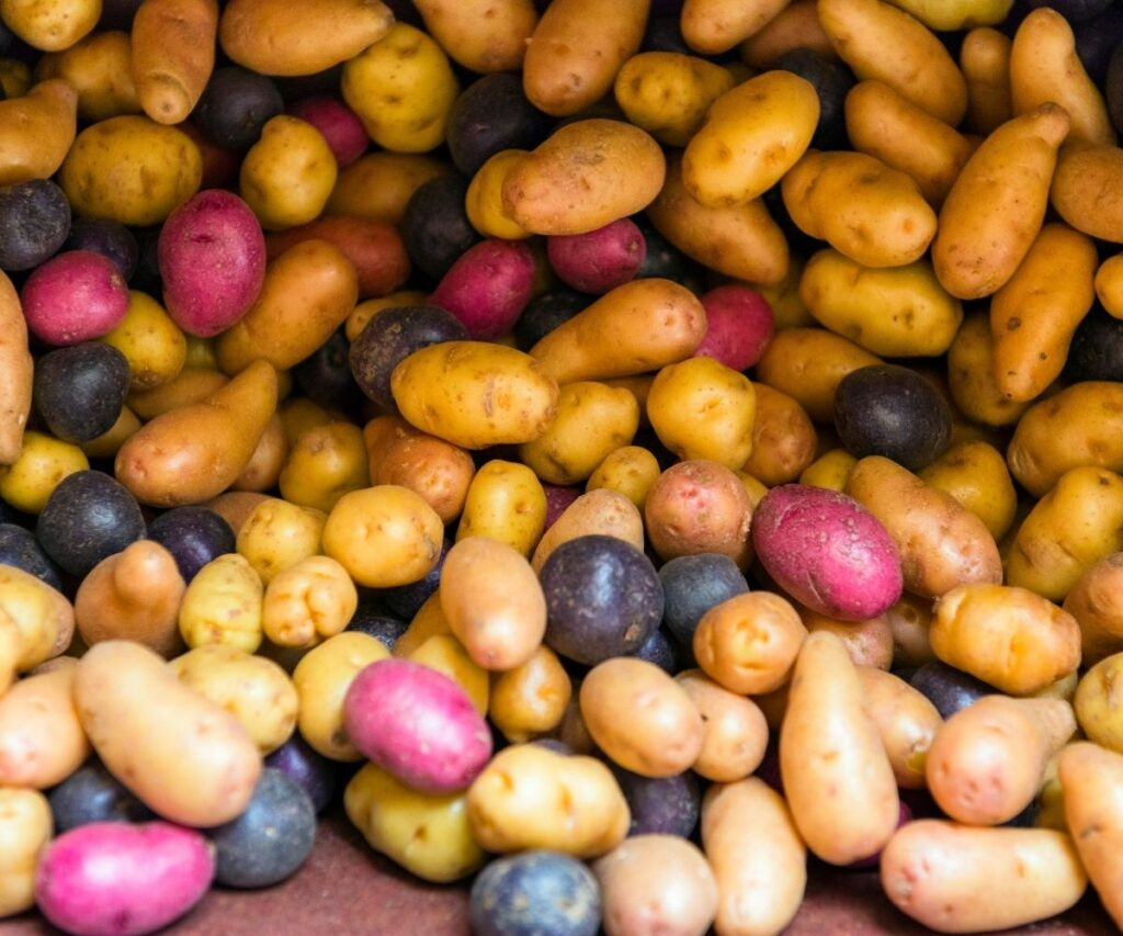 Different colors and sizes of potatoes.